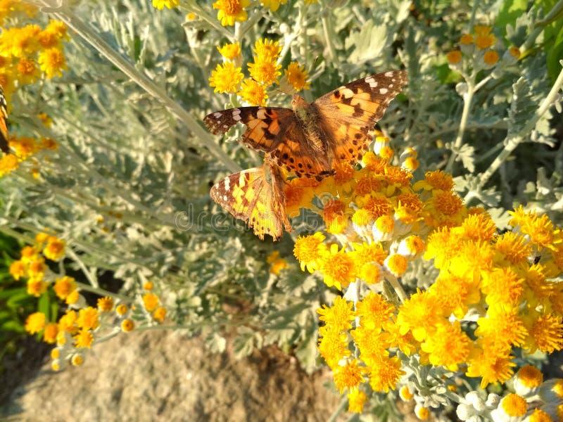 Bruine vlinder in kleine gele bloemen royalty-vrije stock foto
