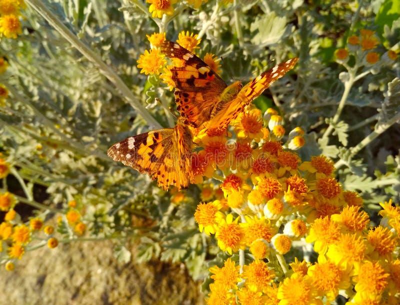 Bruine vlinder in kleine gele bloemen stock foto's