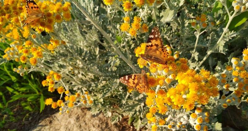 Bruine vlinder in kleine gele bloemen stock afbeeldingen