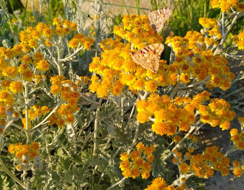 Bruine vlinder in kleine gele bloemen royalty-vrije stock fotografie