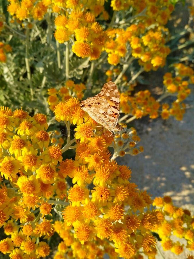 Bruine vlinder in kleine gele bloemen stock foto