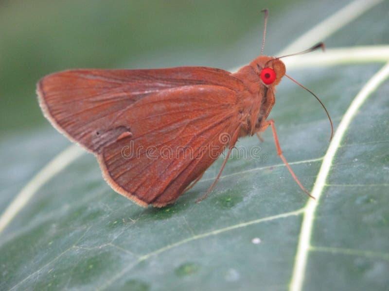 Bruine vlinder met rode ogen op een groen blad stock afbeelding
