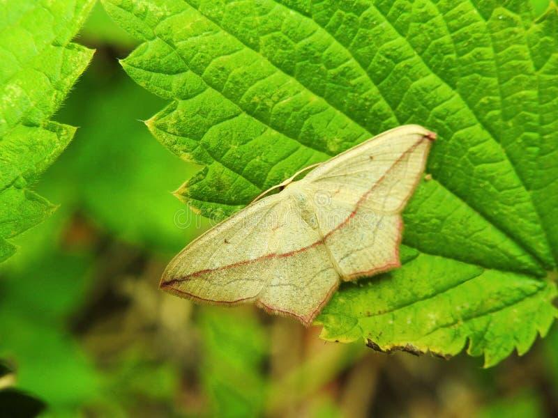 Bruine vlinder op groen blad, Litouwen stock fotografie