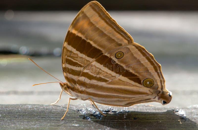 Bruine vlinder op houten plaat royalty-vrije stock foto
