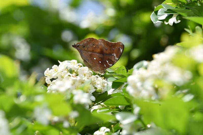 Bruine vlinderstoppositie op witte bloemen en vers groen verlof royalty-vrije stock afbeeldingen