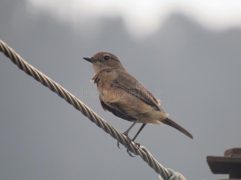 Bruine Vogel royalty-vrije stock afbeeldingen