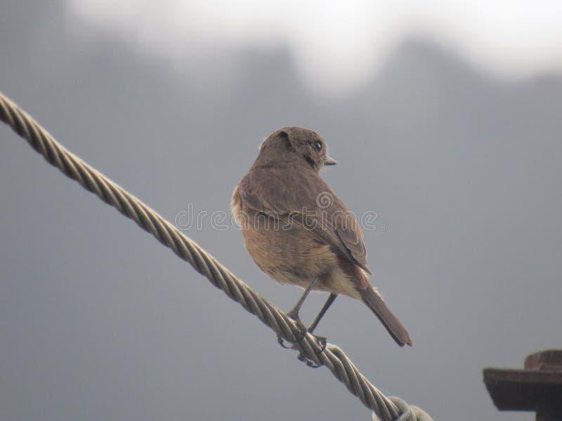 Bruine Vogel royalty-vrije stock fotografie
