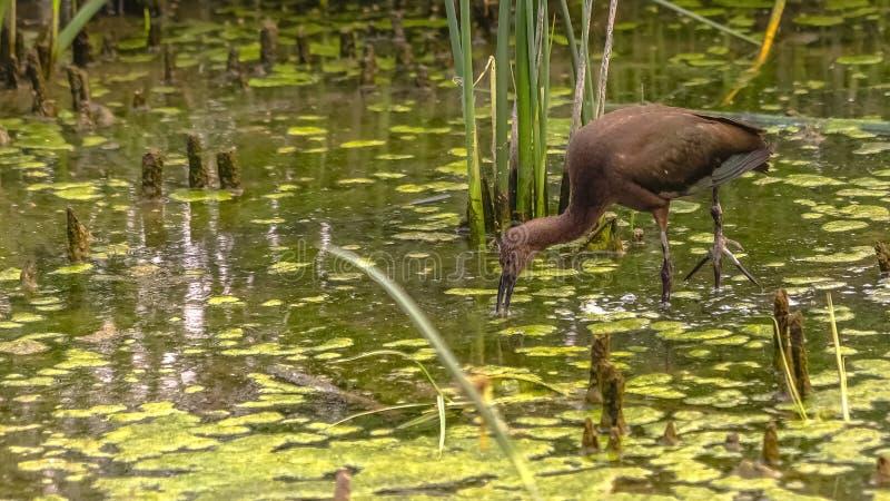 Bruine vogel in Meer Utah met grassen en algen royalty-vrije stock foto