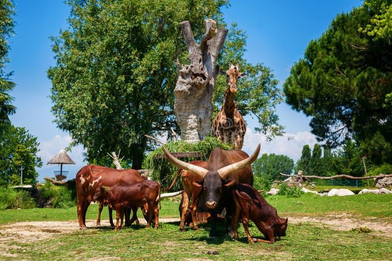 Bruine Watusi-Stieren en een giraf in de dierentuin stock afbeelding