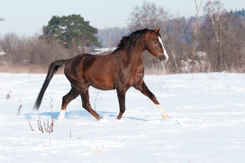 Bruine Welse poneyhengst in de winter stock afbeelding