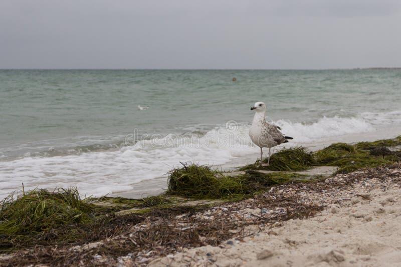 Bruine winderige zeemeeuw tegen onweer op overzees Wild vogelsconcept Zeemeeuw op zandstrand in orkaandag stock foto's