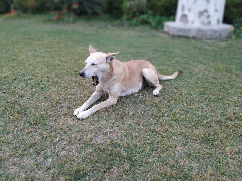 bruine witte hond die wijd terwijl het zitten op grasgrond geeuwen royalty-vrije stock foto