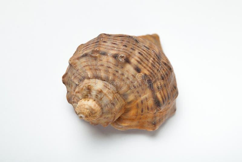 Bruine zeeschelp op witte achtergrond, close-up royalty-vrije stock afbeelding