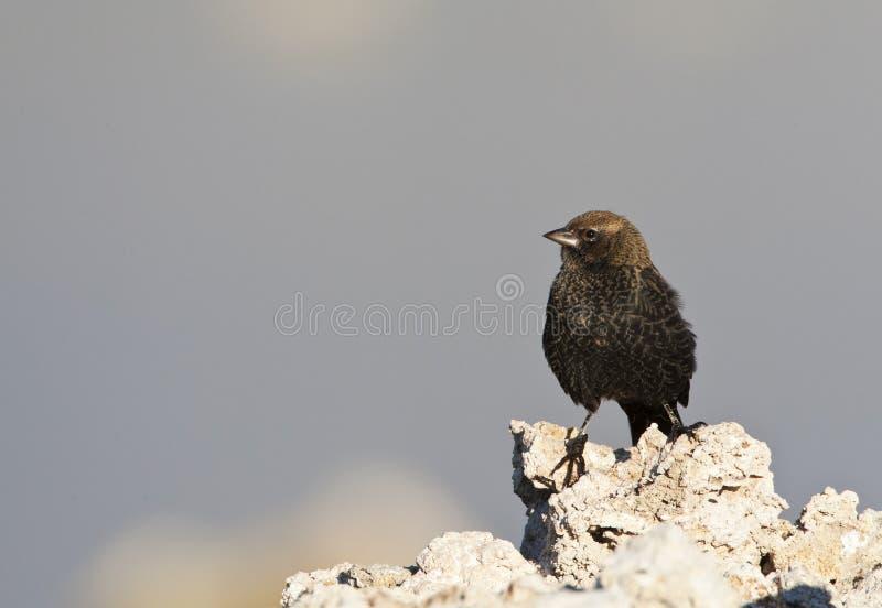 Bruinkopkoevogel, καφετής-διευθυνμένο Cowbird, Molothrus ater στοκ φωτογραφίες με δικαίωμα ελεύθερης χρήσης