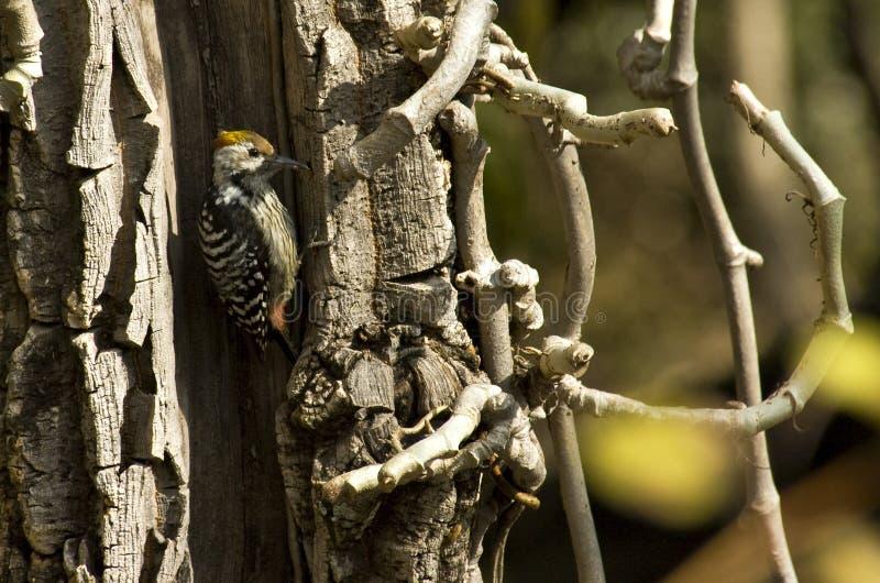 Bruinvoorhoofdspecht,布朗朝向的染色啄木鸟, Dendrocopos 免版税库存图片