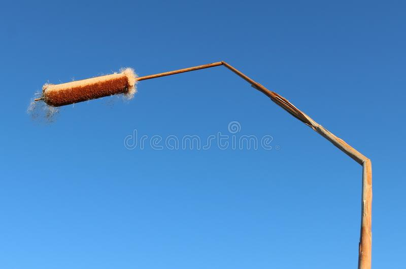 Bruised reed of bullrush in house shape. Close-up of hollow stem reed of a bulrush plant bent in two places isolated on clear blue sky. Stress weighed down stock images
