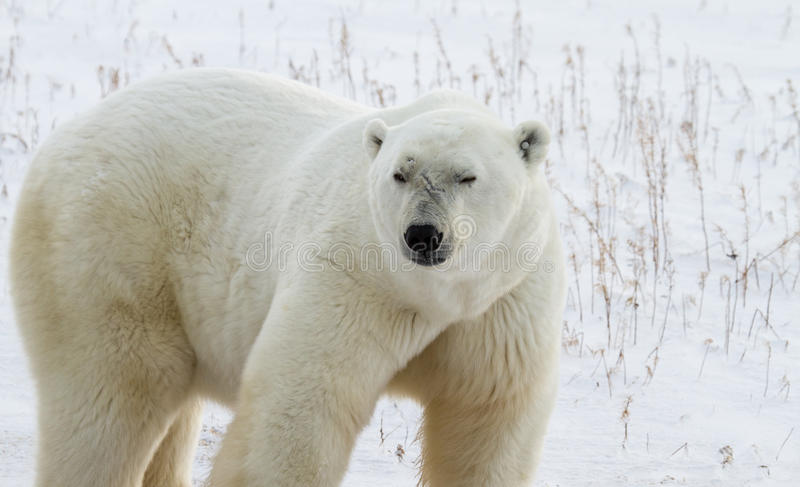 Bruiser полярного медведя стоковые фотографии rf
