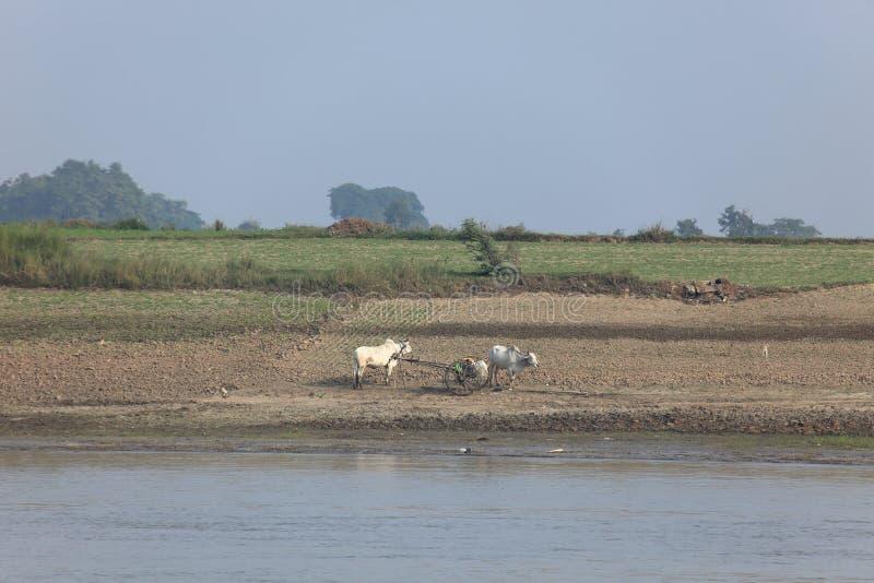 Bruka med oxar i Myanmar arkivbild