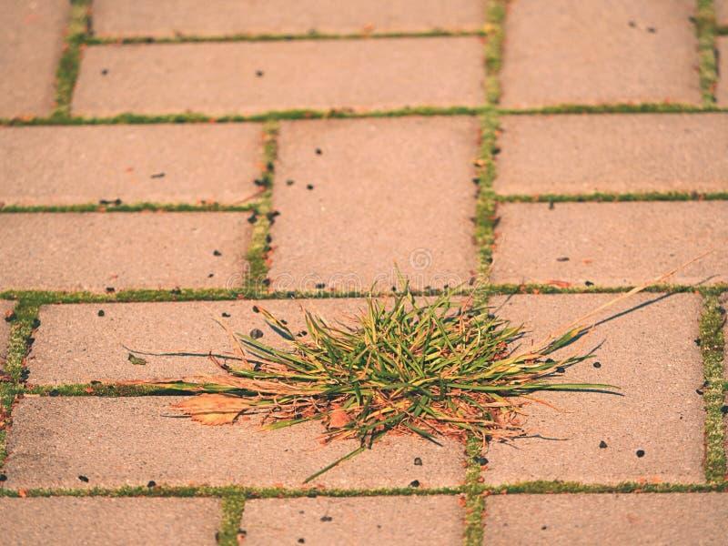 Brukowa brukowy footpath z wiązką trawa, beton brukuje Tekstura stara kamienna ścieżka fotografia stock