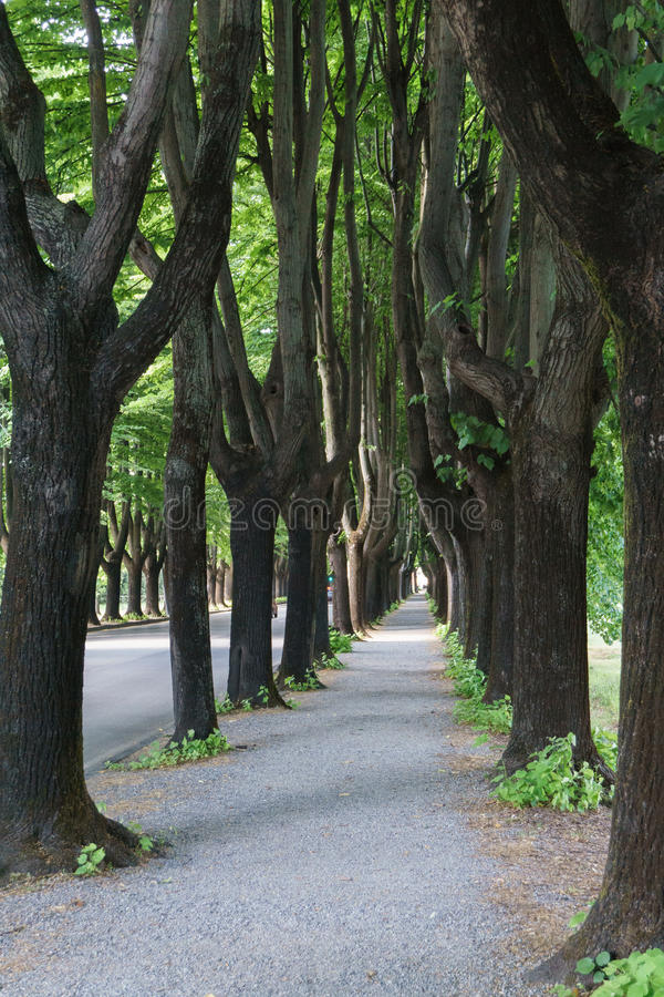 Brukujący pusty chodniczek między wysokimi deciduous drzewami zdjęcia royalty free