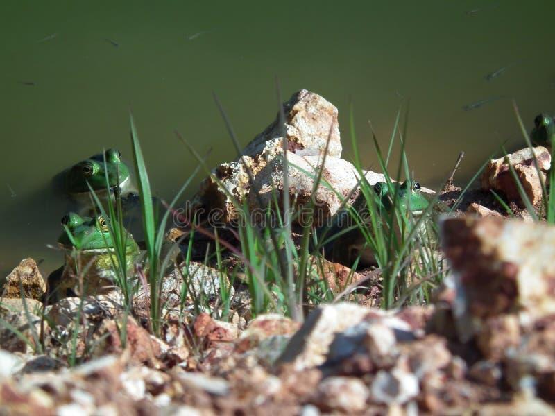 Brulkikvorsen in hun het natuurlijke plaatsen in de wildernis royalty-vrije stock fotografie