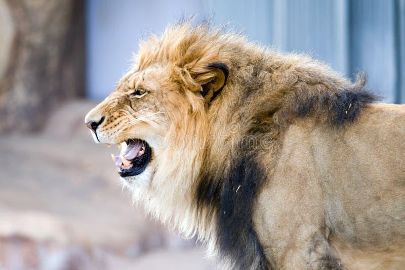 Brullende Leeuw royalty-vrije stock afbeelding