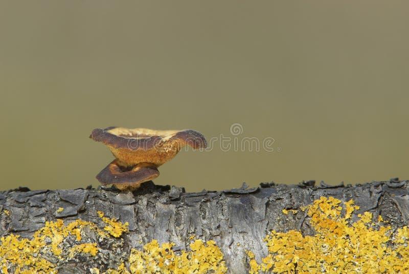 brumalis polyporus fotografia stock
