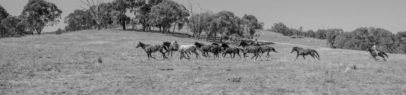 Brumbies que corren libremente en una ladera - blanco y negro foto de archivo libre de regalías