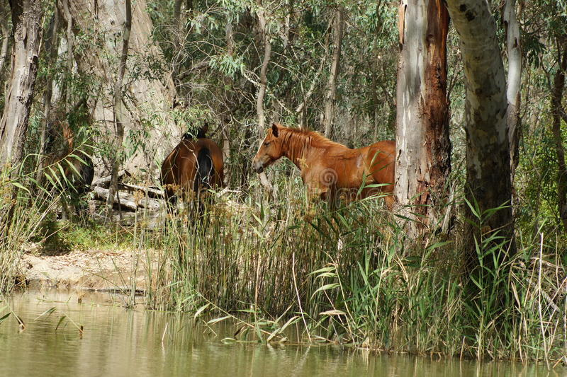 Brumby. In Australia's early years, a man's best friend was not his dog, but rather his or her horse. The early pioneers were reliant upon their royalty free stock photo