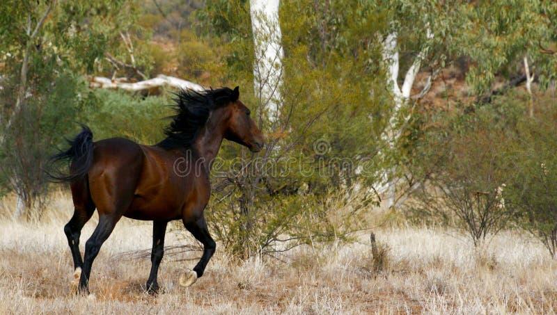 Brumby/caballo salvaje fotos de archivo