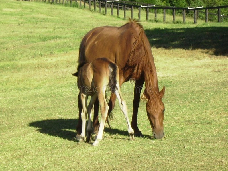 Brumby With Her Foal At Mountain Thyme Sanctuary. Stock Photo