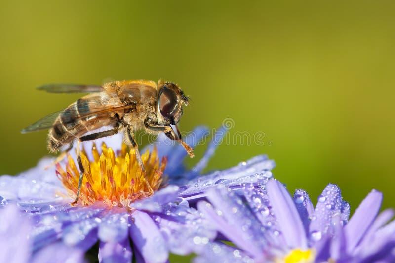 Brummenfliege auf Asterblume stockbilder