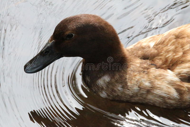 brun and royaltyfria bilder