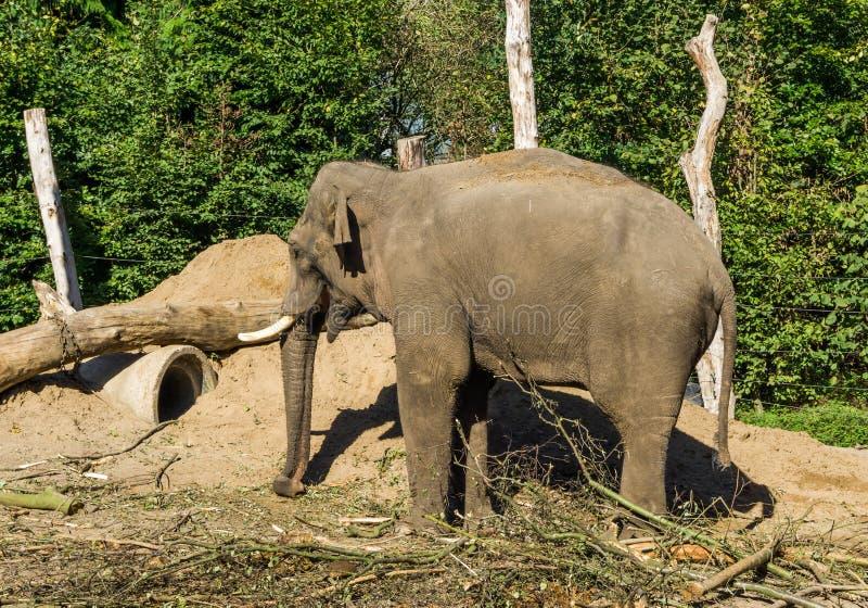 Brun afrikansk elefant med beten som står i ett sandigt vanligt landskap med träd en djur stående royaltyfria bilder
