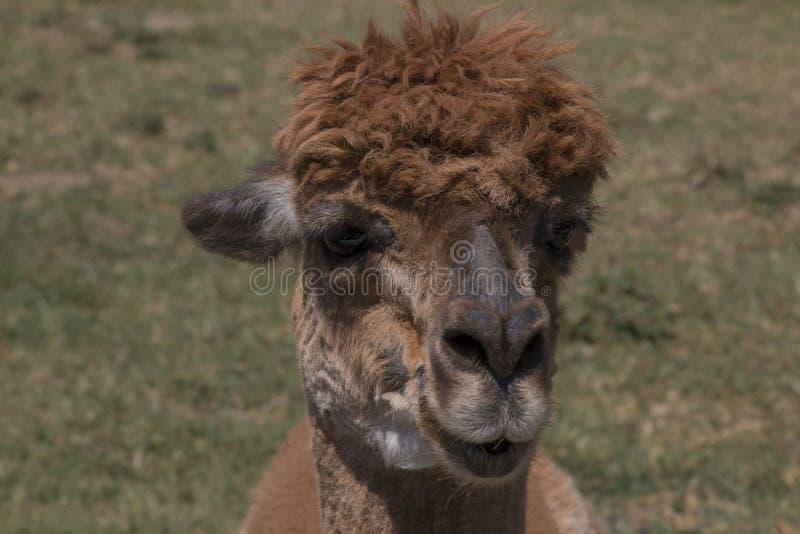 Brun Alpaca royaltyfri bild