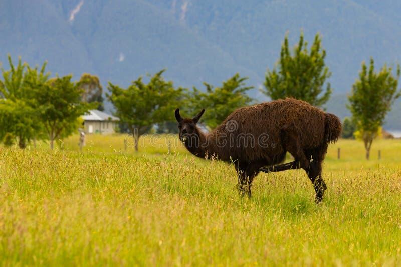 Brun alpaca på grönt exponeringsglas royaltyfria bilder