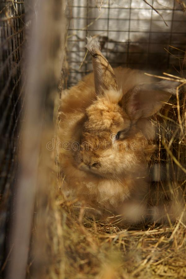 Brun angora- kanin i bur arkivfoton