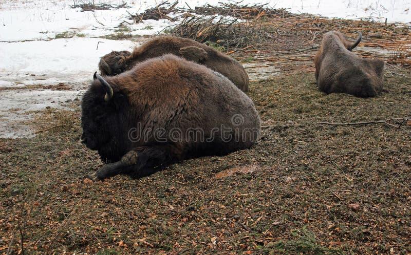 Brun bison tre royaltyfria bilder