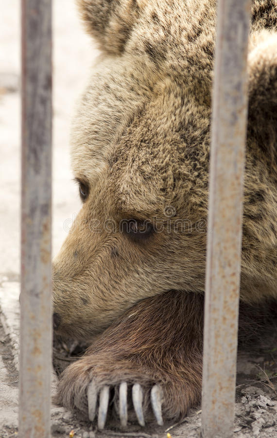 Brun björn i Zoo arkivbild