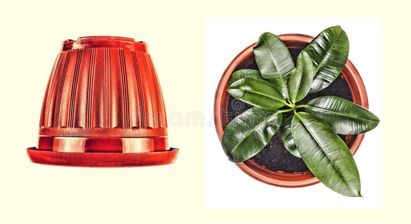 Brun blomkruka, ung fikus som isoleras, kopieringsutrymme royaltyfri fotografi