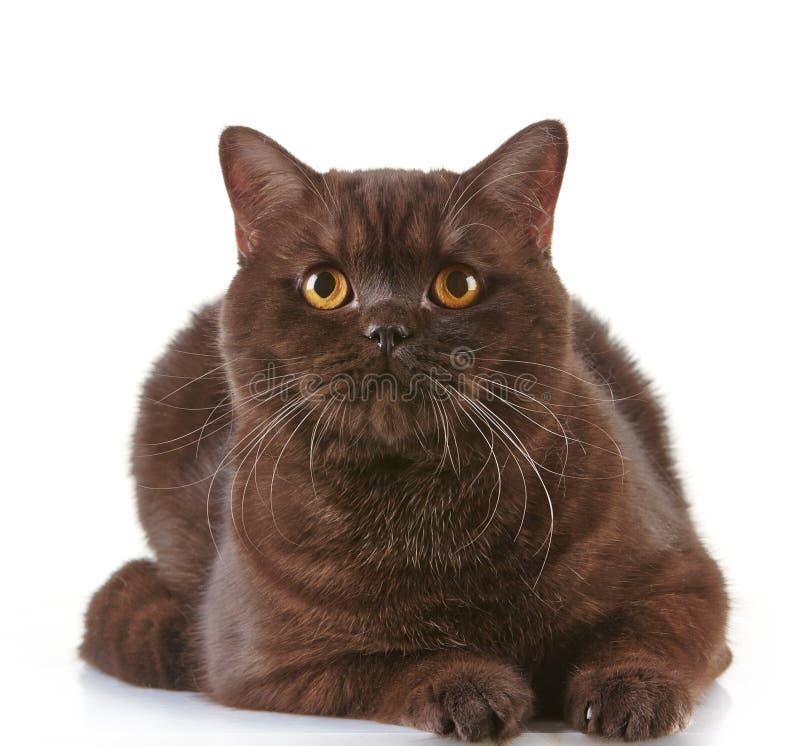 Brun brittisk katt för kort hår royaltyfri bild