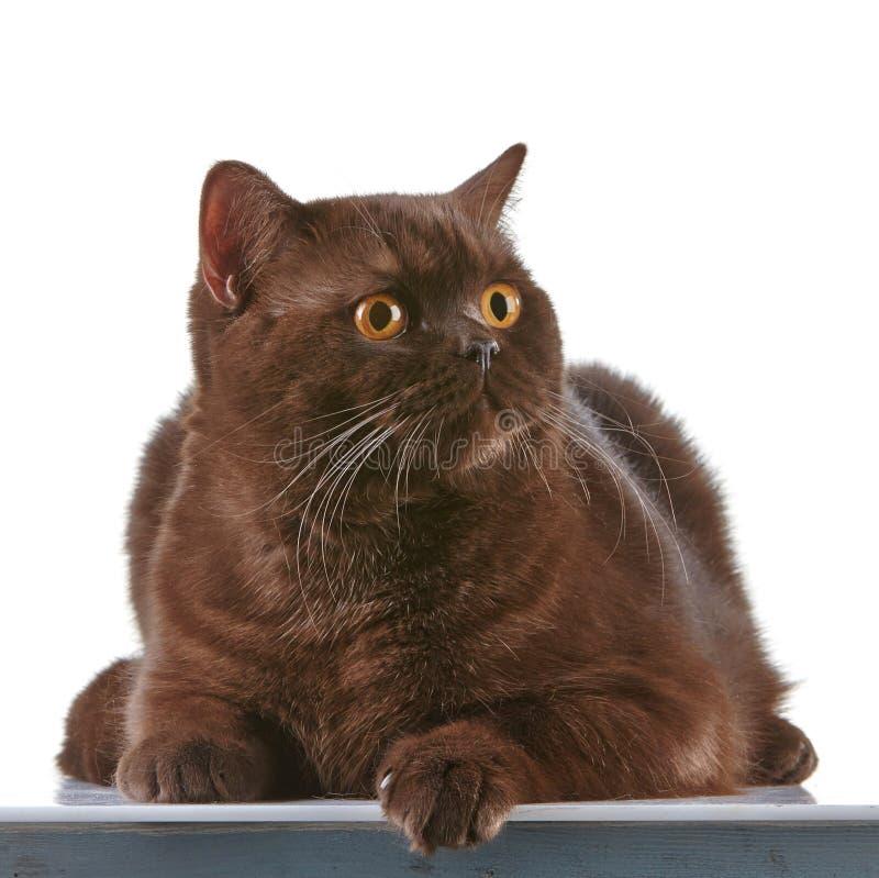 Brun brittisk katt för kort hår royaltyfria foton