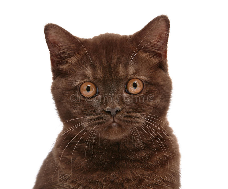 Brun brittisk kattunge för kort hår royaltyfria foton
