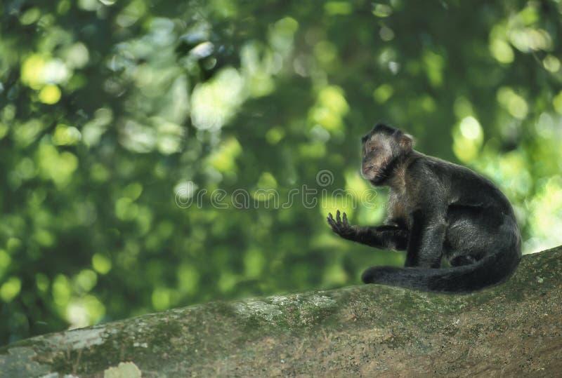 Brun Capuchinapa royaltyfri foto