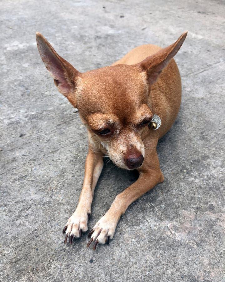 Brun Chihuahuahund som lägger ner på golvet en liten hund av etthaired som stor-synas arkivbilder