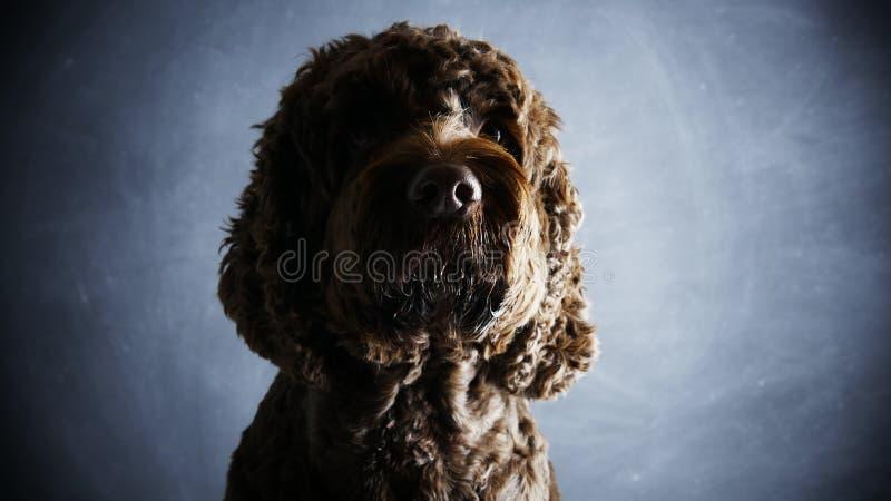 Brun Cockapoo hund och hushållhusdjur arkivfoto
