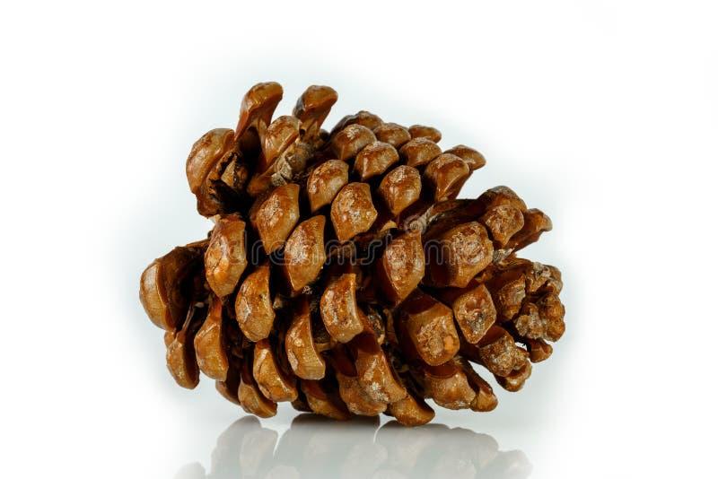 Brun de cône de cèdre image stock