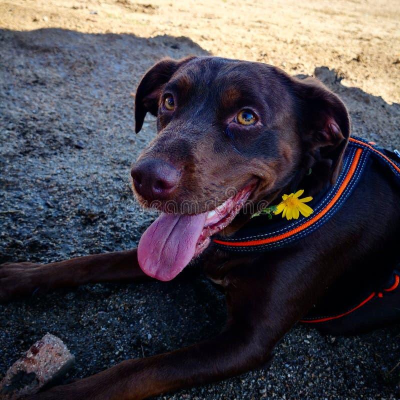 brun de fleur de chien photo stock