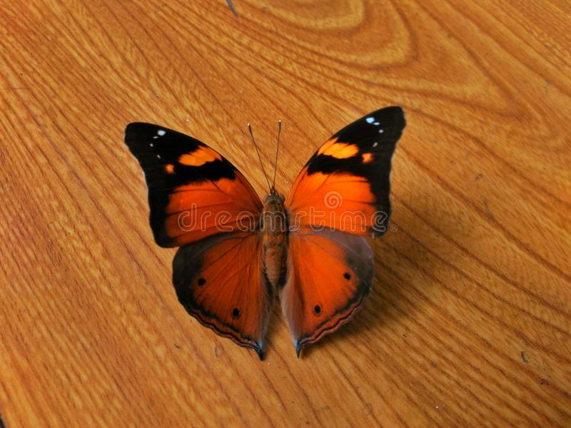 Brun de papillon images stock