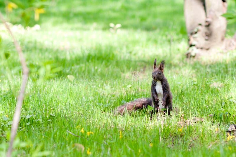 Brun ekorre i gräset, Österrike royaltyfri foto